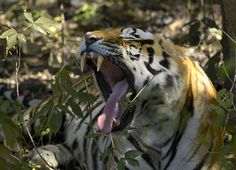 """""""Tired Tiger in Kanha"""" by Gunnar Pettersson: This photo was taken at Kanha National Park in India. This was the first of many Tigers I have seen, but still the most impressive!"""