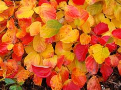 Fothergilla - Honey-scented flowers & brilliant fall color!  Fothergilla gardenii  Over 10 months of interest with this shrub  A flowering shrub with red & orange fall color  Spring brings 100's of honey-scented flowers  Thrives across the majority of US gardens  Zone 4,5,6,7,8 Blooms Spring  5' x 5'  $19 to $15