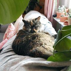 Happy Caturday! ♥️ #siiritheexotic #kissa #cat #neko #katt #ねこ #ネコ #猫 #instacat #catsofinstagram #catsgram #eksoottinenlyhytkarva #exoticshorthair #exoticsofinstagram #crazycatlady #ilovecat #pawsome #cosycathome #caturday #katinoravanpesä Exotic Shorthair, Crazy Cat Lady, I Love Cats, Neko, Cats Of Instagram, Cosy, Happy, Animals, Animales
