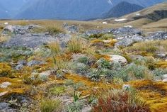 NZ alpine plants Alpine Plants, Native Plants, Conservation, New Zealand, Turtle, Landscapes, Mountains, Nature, House