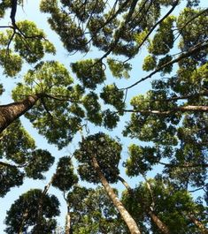 """It is also thought that """"crown shyness"""" happens so that trees can optimize light exposure to maximize the process of photosynthesis done by the tree leaves. Sitka Spruce, Tree Canopy, Colossal Art, John Muir, Photosynthesis, Tree Tops, Tree Leaves, Natural Phenomena, Parcs"""