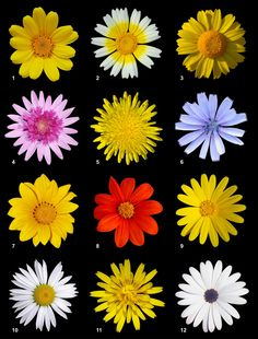 Species of Asteracea [ Poster ] A poster of twelve different species of flowers of the Asteraceae family: chamomile chrysanthemum myconis Marguerire thistle flower tomentosa Field marigold Ox-eye daisy Common hawkweed Cape daisy Daisy Flower Types, Types Of Daisies, Different Flowers, Yellow Flowers, Colorful Flowers, Beautiful Flowers, Daisy Flowers, Margaritas Shasta, Birth Month Flowers