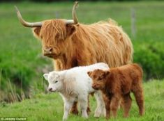 I feel a little sheepish! Unusual white Highland calf is born on a Norfolk farm… but he looks more like a LAMB ) ) Snowy the highland calf, pictured with mother and sibling, was born white due to a genetic throwback Cute Baby Cow, Baby Cows, Cute Cows, Baby Elephants, Highland Calf, Scottish Highland Cow, Miniature Highland Cattle, Fluffy Cows, Fluffy Animals