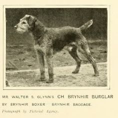 1911 Welsh Terrier