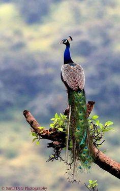 such pretty birds Pretty Birds, Beautiful Birds, Animals Beautiful, Peacock Images, Peacock Art, Male Peacock, Exotic Birds, Colorful Birds, Animals And Pets