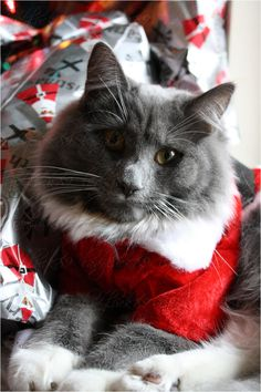 Sweet gray Santa kitty! For more Christmas cats, visit https://www.facebook.com/funholidaycats
