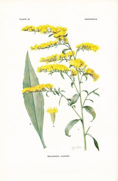 1917 Botany Print  Solidago Juncea  Early Goldenrod  by Holcroft