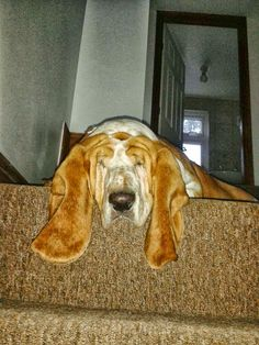 Our basset hound ecstatic about having to go out in the rain