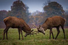 The Duel - Autumn in Richmond Park, England Richmond Park, Wild Things, Animal Kingdom, Inktober, Creatures, England, Autumn, London, Nature