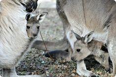 В зоопарка Brookfield Zoo се родили бебета сиво кенгуру