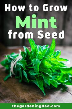 Learning How to Grow Mint from Seed is so easy and rewarding! Learn growing caring harvesting and storing tips and ideas! Learning How to Grow Mint from Seed is so easy and rewarding! Learn growing caring harvesting and storing tips and ideas! Gardening For Beginners, Gardening Tips, Indoor Gardening Supplies, Growing Mint, Cooking Herbs, Herb Garden Design, Kitchen Herbs, Herb Seeds, Herbs Indoors