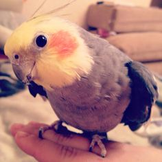 Cute cockatiel looks like my Owen, miss his whistling :( Funny Birds, Cute Birds, Pretty Birds, Cute Funny Animals, Beautiful Birds, Cockatiel, Budgies, Bird Pictures, Cute Pictures