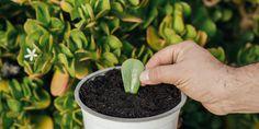 🌱 Δημιουργούμε νέα φυτά κρασούλας με τον πιο γρήγορο και αποτελεσματικό τρόπο. Κόβουμε μικρά τμήματα βλαστού ή σκέτα φύλλα και ακολουθούμε μερικές απλές συμβουλές από τα Μυστικά του Κήπου. Agriculture, Home And Garden, Backyard, Diy, Vegetable Garden, Garden, Plants, Patio, Bricolage
