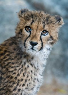 Ilangha, a 4 old female Cheetah (Acinonyx jubatus) at the San Diego Zoo. Baby Animals Pictures, Cute Baby Animals, Animals And Pets, Big Cats, Cute Cats, Big Cat Species, Baby Lion Cubs, Big Cat Family, Cheetah Cubs