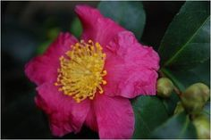 An old camellia has graced the north side of the Castle for many years. Camellias come in fall and spring-blooming species and are related to Camellia sinensis, the leaves of which are harvested and dried to create tea.