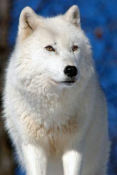Arctic Wolf by kingarfer, via Flickr