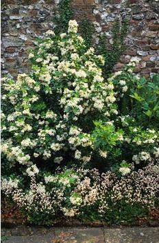 Choisya ternata - Mexican Orange Blossom underplanted with Saxifraga x urbium - London Pride in walled garden