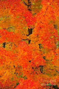 Orange Maple Photograph by Terri Gostola in  FineArt America-
