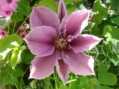 Pauline's Flowers - Clematis - 4.6.2013