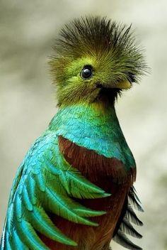 Quetzal resplendissant (Pharomachrus mocinno) - Amérique centrale
