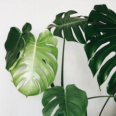via: @margo.hupert.art  _______________________  🌿 #plantsinfocus 🌿 #растениявкадре 🌿  _______________________  #tropicalplants #greenhouse #glasshouse #botanicalpickmeup #urbanjunglebloggers #urbanjungle #vscoplants #plantspo #plantlife #botanical #instaplant #plantstagram #jungalow #plantsarefriends #cactus #botanicalgarden #jungalowstyle #jungle #planta #plantstrong #palms #plantsofinstagram #greenplant