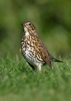 Song thrush--one of several nonnative species that steals grapes from New Zealand vineyards