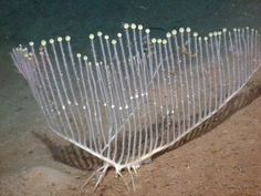 A new carnivore shaped like a candelabra has been spotted in deep ocean waters off California's Monterey Bay.