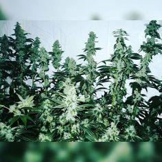 This is some of my Biker Kush from Karma Genetics.  TAP LINK IN BIO  #weed #marijuana #cannabis #mmj #ogkush #og #loud #dank #hydroponics #aeroponics #howtogrowweed #growingweed #420dotcom #howtogrow #howtogrowweedindoors #karmagenetics #thekarmasquad #karmasquad #sanniesseeds #sannies #growing4freedom
