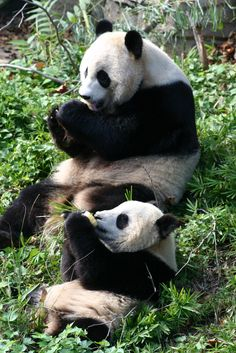 Tai Shan and Mei Xiang having fruitsicles. Good thing Tai got his own, because Mei is NOT sharing those!