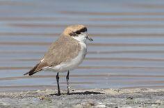 Puna Plover(Charadrius alticola)