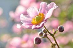 Anemones, Grecian Windflower,Anemone blanda, Poppy anemone,Anemone coronaria, Fall anemones, Japanese anemones, Windflowers, Anemone, Wood anemone,Anemone nemorosa,Snowdrop anemone,Anemone sylvestris