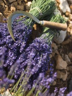 neil-emmerson-lavender-knife-luberon-france