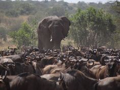 Traffic jam... It's busy times in the Serengeti when the migration is around! Photo by the team at Sayari Camp