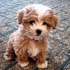 Maltipoo ( Maltese and Miniature/Toy Poodle mix); Top 5 Most Cute Dog Breeds More Maltipoo ( Maltese and Miniature/Toy Poodle mix); Top 5 Most Cute Dog Breeds Cute Baby Animals, Animals And Pets, Funny Animals, Funny Dogs, Cute Baby Dogs, Small Animals, Funny Humor, Pet Dogs, Dog Cat