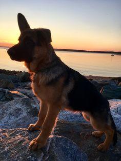 German shepherd dog ❤️