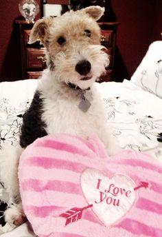 Wire Fox Terrier = Love :)