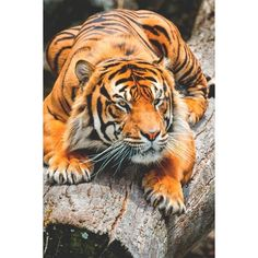 f668c4495fc0 The tiger (Panthera tigris) is the largest cat species