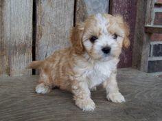 Wendy's Cavapoo Puppies (Georgia Button)