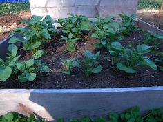 How to Hill Potato Plants In a Raised Bed