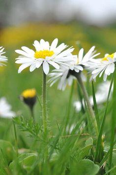 daisies ♥