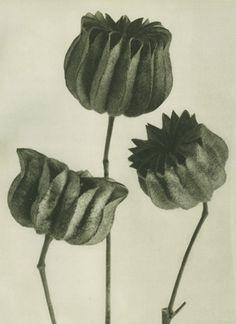 Karl Blossfeldt  Plate # 103: Abutilon (magnified 6 times)  Photogravure, printed in 1928.