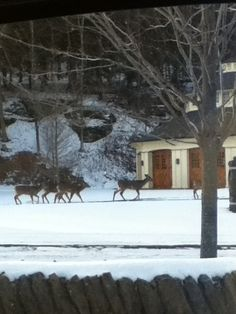 The Farmers' Museum in Cooperstown NY is closed to the public in winter. The deer family finds it a good time!