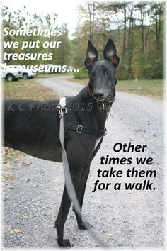 Enough said. (Photo used by permission from KC Photography.) #galtx #greyhounds