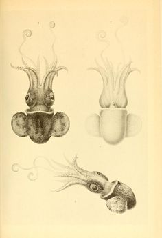 The Cephalopoda: Scientific results of the German deepsea expedition on board the steamship Valdivia 1898-1899, Carl Chun, translated from the German by Albert Mercado.