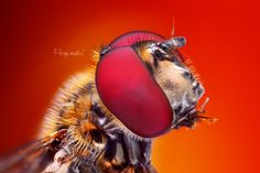 Hoverfly - Hoverfly stacked from approximatelly 60 photos.