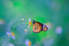 ---Butterfly--- by kkchanon. @go4fotos