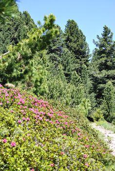 Rododendri.  www.visitfiemme.it