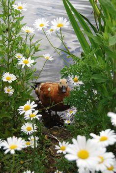 Duck, daisies, pond