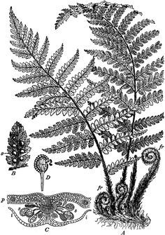 pacific northwest fern tattoo - Google Search