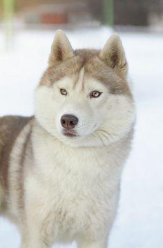 Beautiful #dog #husky #animal